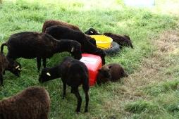 Les moutons de Marcel et Sylvie.