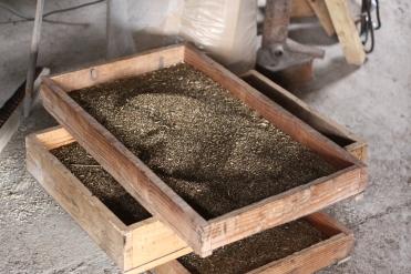 Le grain sèche.
