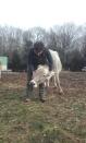 Les vaches ont besoin d'affection :)