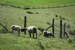 Moutons des moines