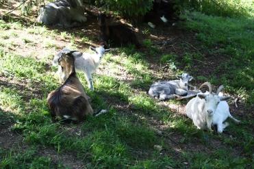 Chèvres des moines