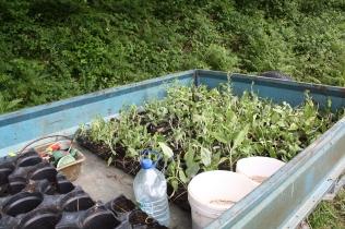 """Plants de la """"Plante de Maylis"""""""