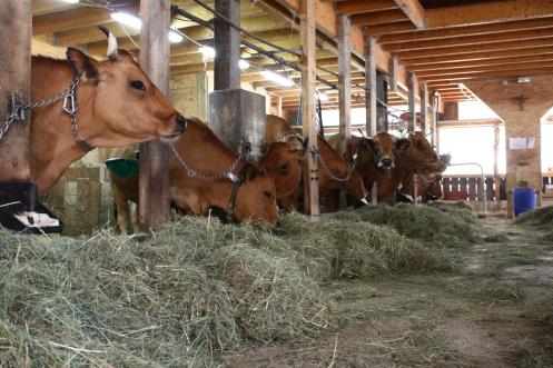 Les vaches en salle de traite